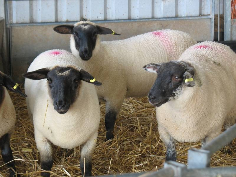 2016 Lambs Photos kindly taken by Marion Neilson of Wynd Art - marionneilson11@gmail.com